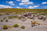 Red fox in Altiplano desert, sud Lipez reserva, Bolivia