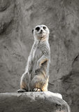 Suricate on a rock