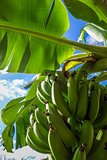 Banana tree detail, easter island