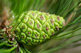 fir cone on a pine tree