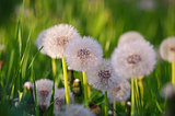 Yellow little flowers dandelions grow outdoors