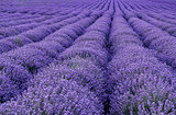 blooming lavender rows