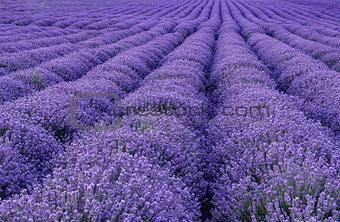 blooming lavender rows