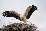 The adult white stork in a nest has raised wings