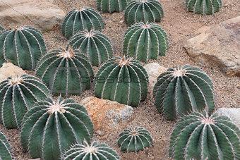 Cacti on sandy ground