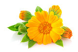 Flowers of calendula with green leaves