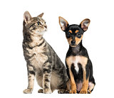German Pinscher puppy , 2 months old and a cat , isolated on whi