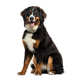 Bernese Mountain Dog sitting, 8 months old, isolated on white