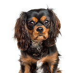 Close-up of a Cavalier King Charles, 7 years old, isolated on wh