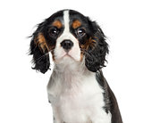 Close-up of a Cavalier King Charles, 3 months old, isolated on w