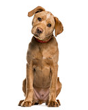 Labrador Retriever puppy looking at the camera, isolated on whit