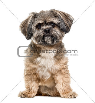 Crossbreed dog sitting, 3 years old, isolated on white