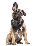 Puppy french bulldog with a scarf, isolated on white