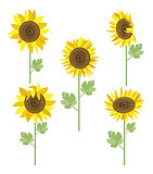 sunflowers set vector