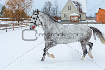 A beautiful gray horse jumps over the winter field