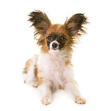 puppy papillon dog in studio