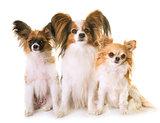 three littles dogs