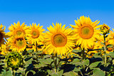 A plant flower agriculture eco sunflower