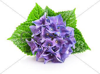 Branch blue hydrangea with green leaf