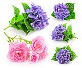 Set garden flower. Blue hydrangea and pink roses