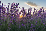 Sun between lavender