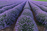 lines of lavender fields