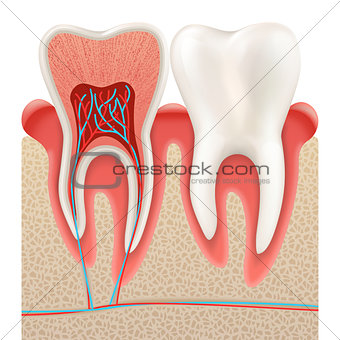 Tooth anatomy closeup cut away. EPS 10