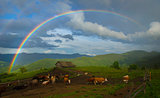 Rainbow over cow farm