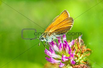 small skipper on clove flower