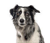 Close-up of a black and white Border Collie, 5 years old , isola