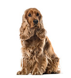 English Cocker Spaniel sitting, 2 years old , isolated on white