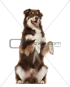 Australian Shepherd on hind legs, 6 years old , isolated on whit