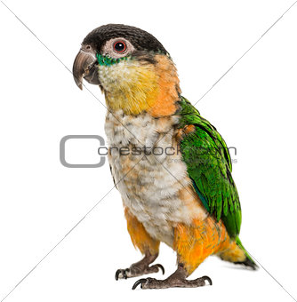 Black-capped parrot, isolated on white