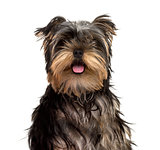 Yorkshire Terrier puppy sticking tongue, isolated on white