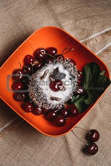 Little african hedgehog