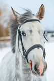 Portrait of a gray thoroughbred horse in winter close-up
