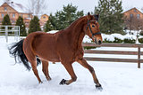 Brown racehorse running around the winter field