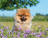 pomeranian spitz in flower