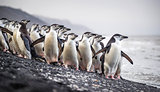 A flock of Antarctic penguins stands on the beach near the water. Andreev.