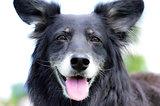 Black shepherd dog