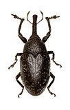 True Weevil Larinus on white Background  -  Larinus (Phyllonomeus) sturnus (Schaller, 1783)