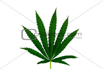 Green cannabis leaf isolated on white background
