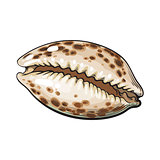 Colorful cowrie or cowry sea shell, sketch style vector illustration