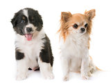 australian shepherd dog and chihuahua