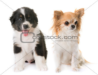 australian shepherd dog and chihuahua