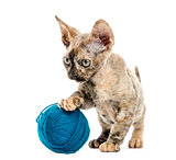 Devon rex kitten with a wool ball isolated on white
