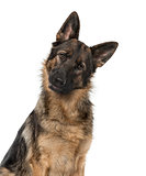 Close-up of a German Shepherd Dog staring at the camera, 21 mont