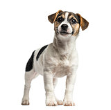 Puppy Jack Russell Terrier standing, 4 months old, isolated on w