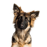 Close-up of a German Shepherd Dog puppy, 4 months old, isolated