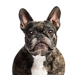 Close-up of a French Bulldog, 6 years old, isolated on white